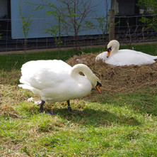 Swans nesting at the side of the Forth & Clyde Canal at Dalmuir.  -  23rd March 2019