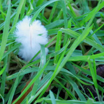 White feather in the grass.  -   Dalmuir Park.  -  22nd January 2021
