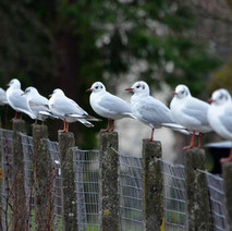 Seagulls on the fence at the duck pond in Dalmuir Park.  -  12th February 2013