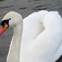 White swan on the Forth & Clyde Canal.  -   21st January 2021