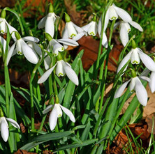 Snowdrops in the Dalmuir Park.  -  1st March 201