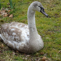 A not so small cygnet. - 22nd March 2018
