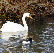 White Swan, Black Duck on the Forth & Clyde Canal.  -   21st January 2021