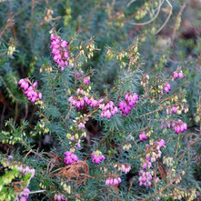 Heather by the stream.  -   Dalmuir Park.  -  22nd January 2021