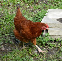 Hens are being kept in the grounds of Centre 81 in Whitecrook. - 12th April 2012