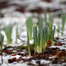 Even with all the cold and the snow, the daffodils are sprouting. - 29th January 2015