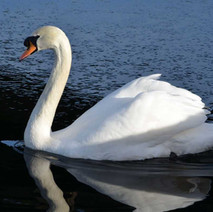 A beautiful Swan on the Forth and Clyde Canal at Clydebank. - 26th January 2013