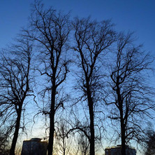 A New Year walk around Dalmuir Park with the wife, I love these trees.  -  1st January 2021