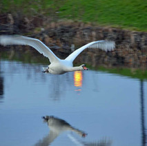 I heard a noise coming up behind me, and turned just in time to grab a shot of this swan flying up the canal. - 2nd February 2013