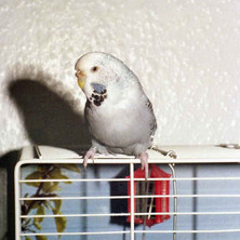 Our budgie, Jackie III on top of his cage, the cage with the mural background. I loved that cage, and jackie III too of course. Clydebank August 1977