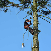 The lumberjack is taking down the big tree in Whitecrook before the next high wind brings it down. - 25th May 2012