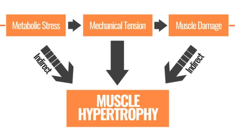 muscle growth factors