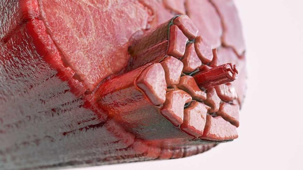 muscle fibre close up