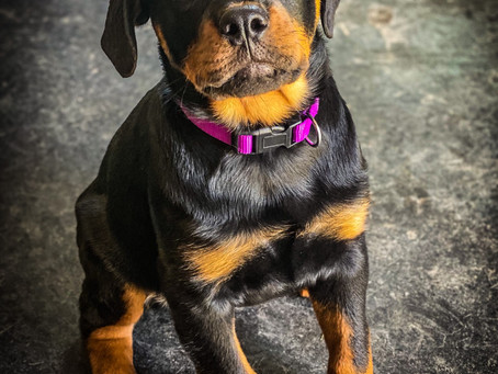 Rottie Kona in for Puppy Imprinting