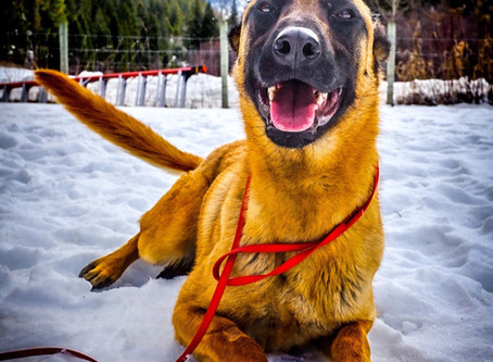 Working Malinois For Sale
