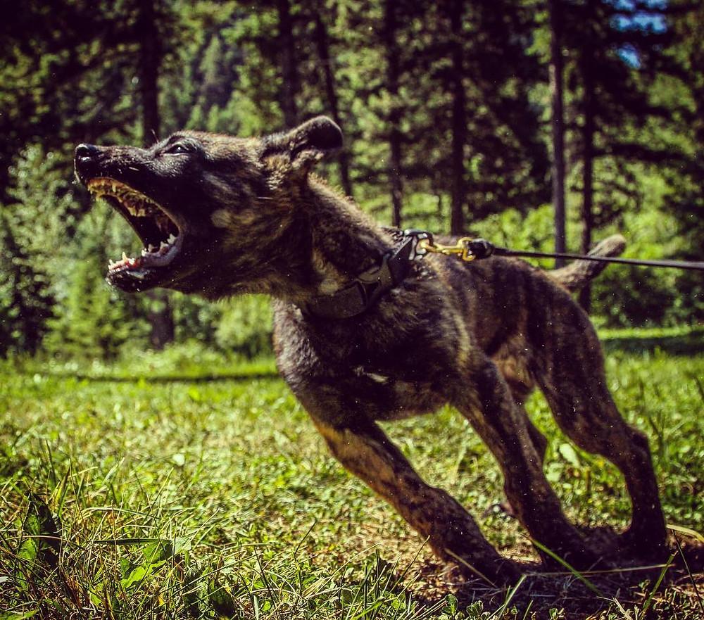 Bite work, bite sport, protection dog