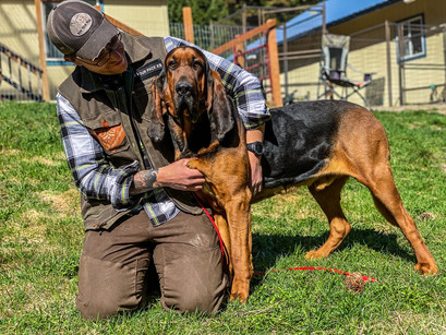 Bloodhound Coabey in for Training