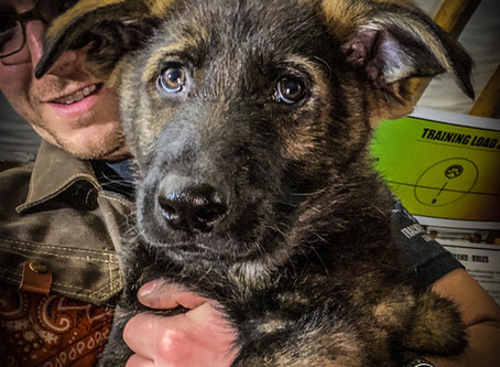 GSD Sig in for Puppy Imprinting