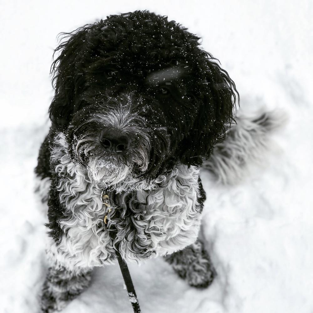 dog training missoula, golden doodle, dog trainer missoula montana