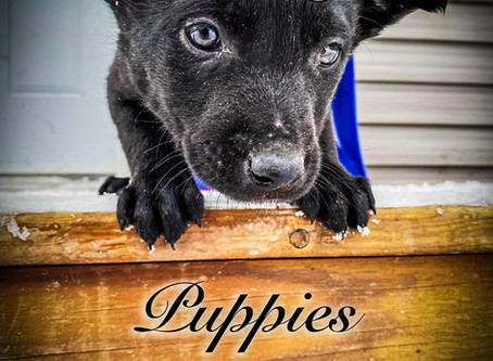 Puppies in for Foundation Training Early 2020