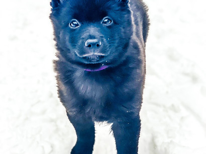 Schipperke in for Puppy Imprinting