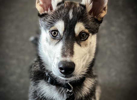 Mishka in for Puppy Imprinting