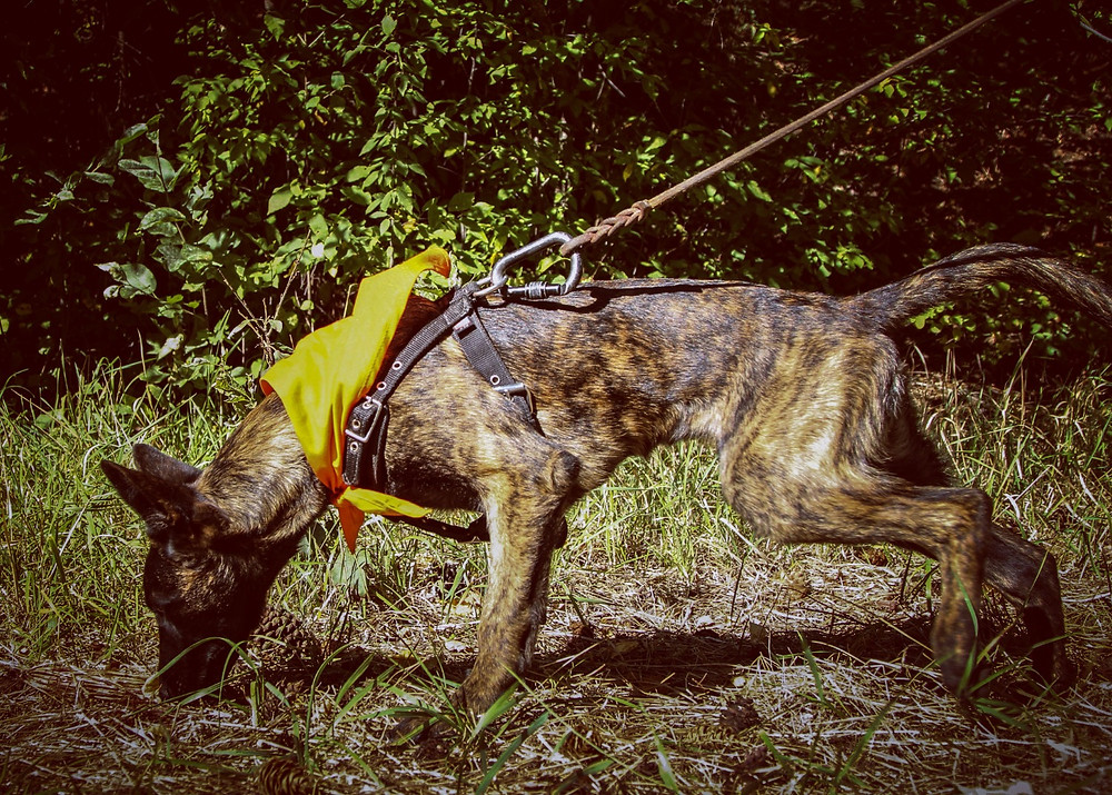 tracking dog, german shepherd, sar dog, tracking dogs montana, search and rescue, dutch shepherd, wounded game recovery