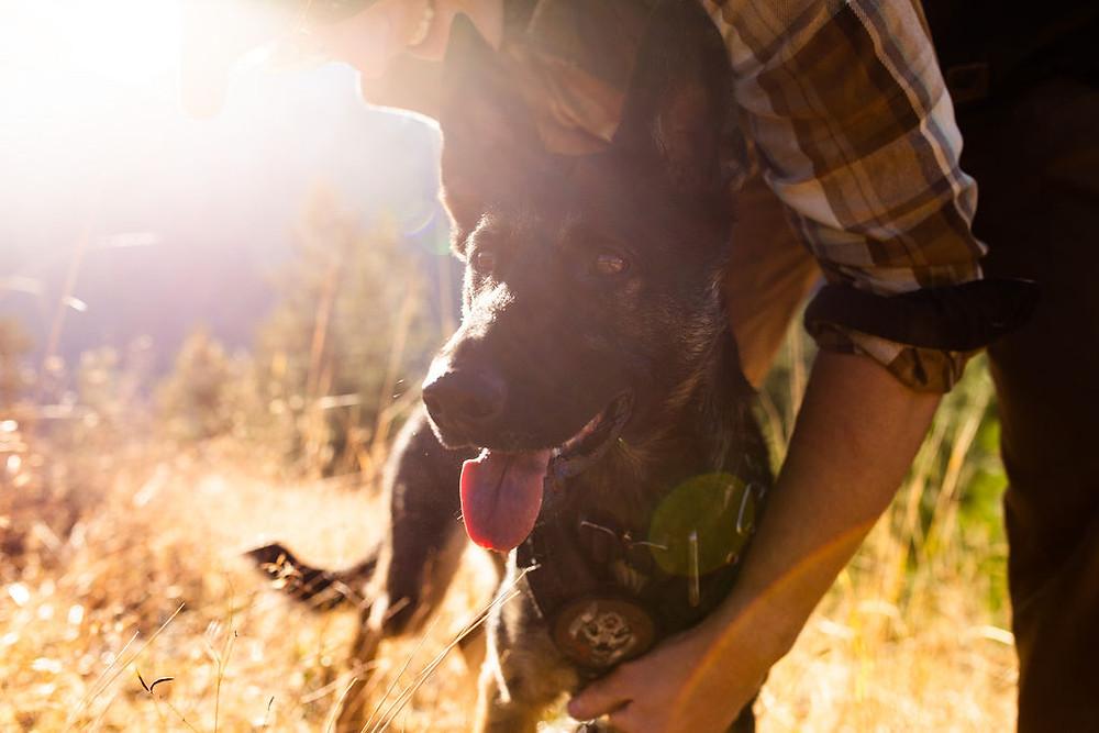 tracking dog, german shepherd, sar dog, tracking dogs montana