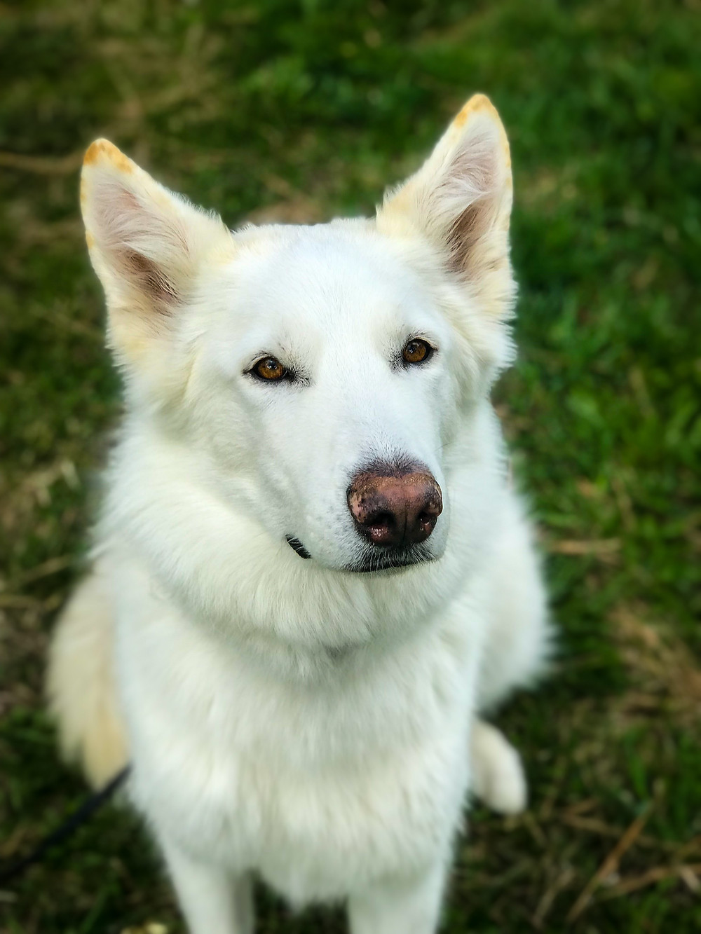 White shepherd, german shepherd, dog training missoula, dog trainer missoula