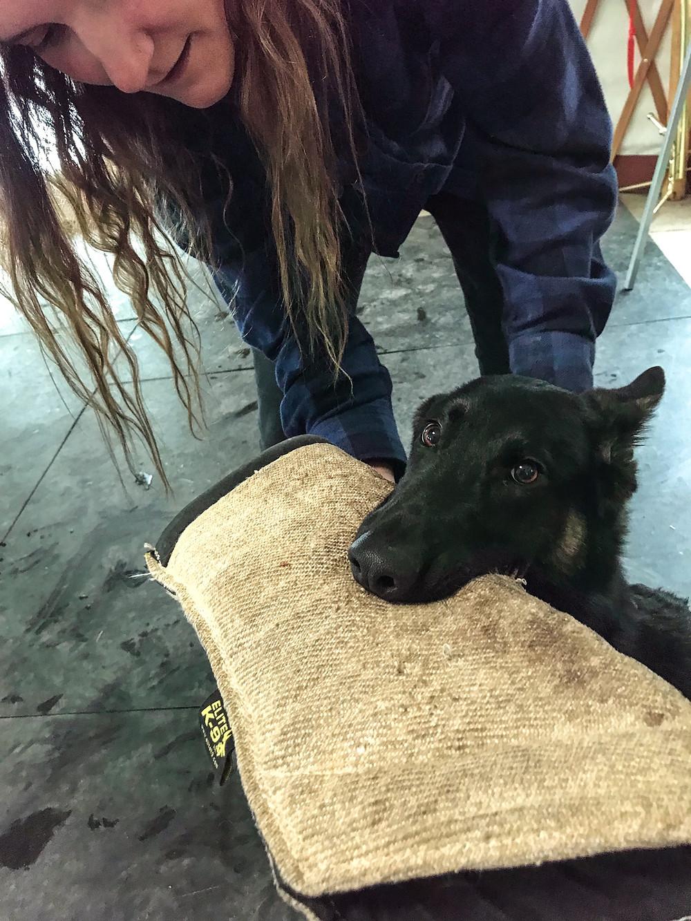 Bite work, PSA, Protection Dog, German Shepherd