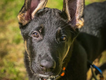 GSD Gunner in for Puppy Imprinting