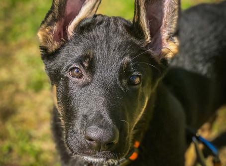GSD Gunner in for Puppy Imprinting