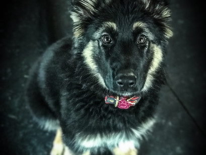 King Shepherd Millie