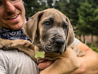 Gladiator Dane in for Puppy Imprinting