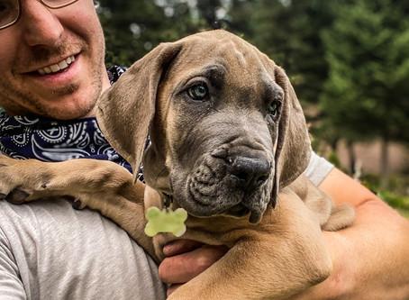 Gladiator Dane in for Puppy Imprinting