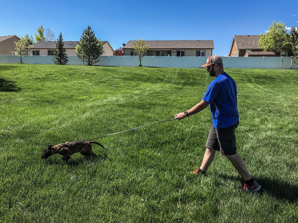 Tracking dog, blood tracking dog, dutch shepherd