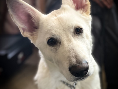 White GSD Theo in for Training