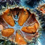 oursins de galice de plongée la passion du goût