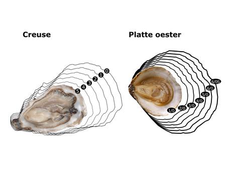 Taille des huîtres