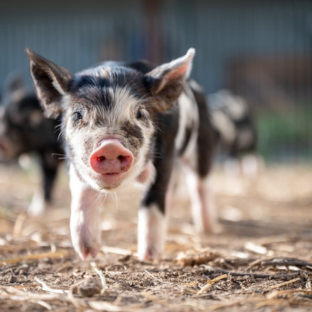 Der Innere Schweinehund. Oder doch kein Schwein gehabt!