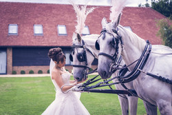White Carriage Horses