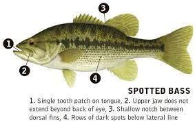 Have You Met The Spotted Bass?