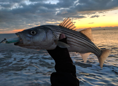 Get To Know The Striped Bass: Morone Saxatilis