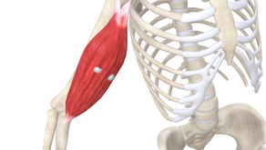 TRIGGER POINT OF THE WEEK – BICEPS BRACHII