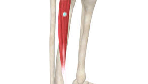 TRIGGER POINT OF THE WEEK – TIBIALIS ANTERIOR