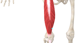 TRIGGER POINT OF THE WEEK – QUADRICEPS RECTUS FEMORIS
