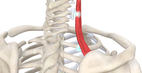 TRIGGER POINT OF THE WEEK – LEVATOR SCAPULAE