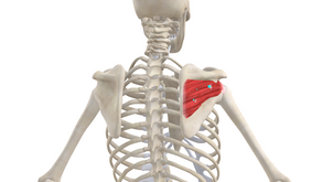 TRIGGER POINT OF THE WEEK – SUBSCAPULARIS & INFRASPINATUS THE DYNAMIC DUO