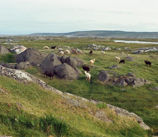 "Sheep grazing along a rock known as ""Goats House"", Tilting, 1973"