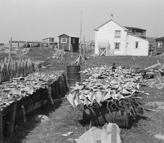 Making fish, Hewitt's Point, Barr'd Islands, 1973